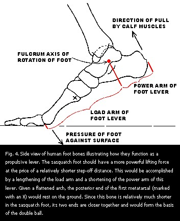 Figure 4. Side view of human foot bones illustrating how they function as a propulsive lever.