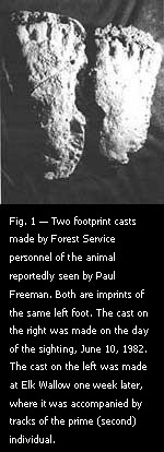 Fig. 1 — Two footprint casts made by Forest Service personnel of the animal reportedly seen by Paul Freeman.
