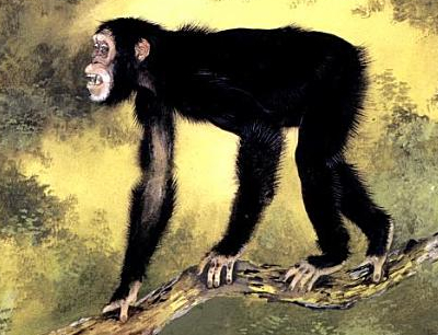 Illustration by Maurice Wilson, from Andrews & Stringer, 1989, Human evolution: An illustrated guide. Cambridge University Press. Dryopithecus fontani, a European wood ape, was widely distributed in western and eastern Europe some 9 to 11 million years ago.