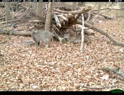 Over 70 images of these two bobcats (Lynx rufus) were captured by a Reconyx RC55.