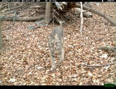 This bobcat (L. rufus) follows his mate toward the Reconyx camera trap to see what all the fuss is about.
