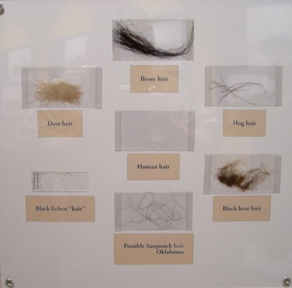 Panel of comparitive hair samples, including an unidentified primate sample from Oklahoma.